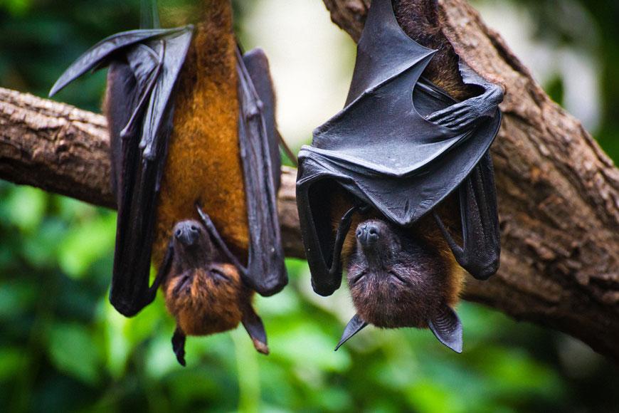 هل يزيل دم الوطواط فعلاً الشعر نهائياً من المواليد الجدد؟
