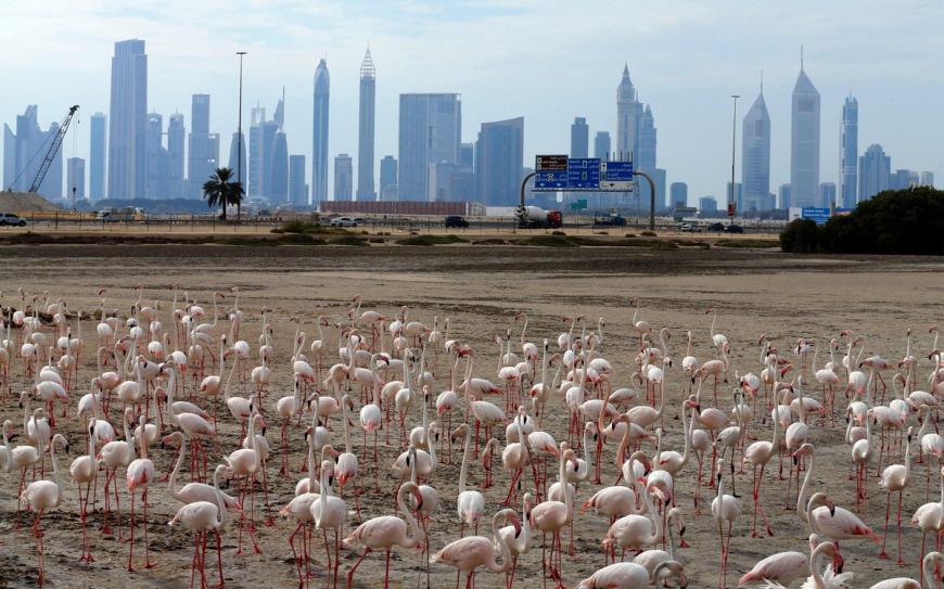 Flamingos at Ras Al-Khor